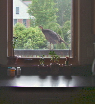 Turkey in Window